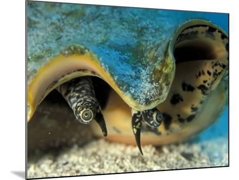 Eyes of Queen Conch, Caribbean (Strombus Gigas)-Jurgen Freund-Mounted Photographic Print