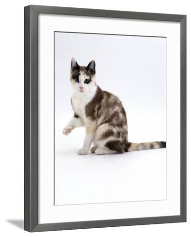 Domestic Cat, Chocolate-Tortoiseshell Looking up after Licking Paw-Jane Burton-Framed Art Print