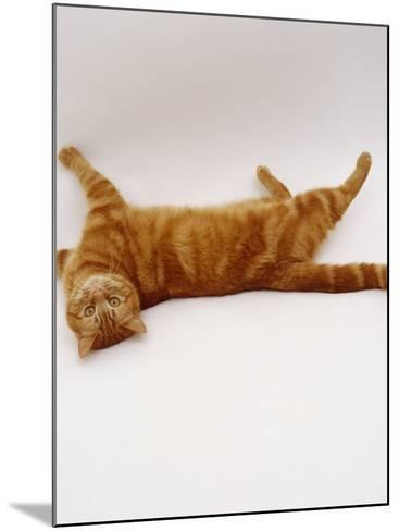 Domestic Cat, British Shorthair Red Tabby Female Rolling on Back-Jane Burton-Mounted Photographic Print