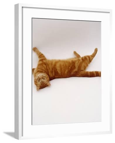 Domestic Cat, British Shorthair Red Tabby Female Rolling on Back-Jane Burton-Framed Art Print
