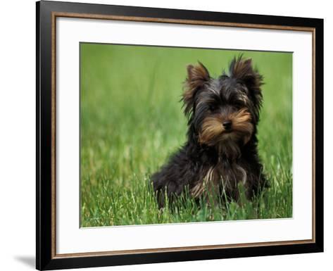 Yorkshire Terrier Puppy Sitting in Grass-Adriano Bacchella-Framed Art Print