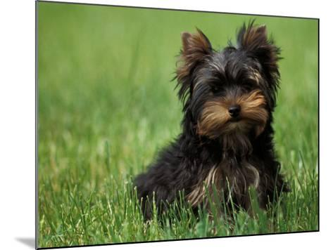Yorkshire Terrier Puppy Sitting in Grass-Adriano Bacchella-Mounted Photographic Print