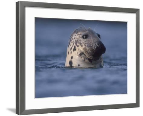 Grey Seal Watching from Water-Niall Benvie-Framed Art Print