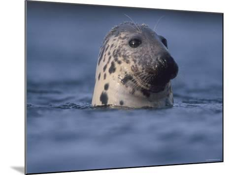 Grey Seal Watching from Water-Niall Benvie-Mounted Photographic Print