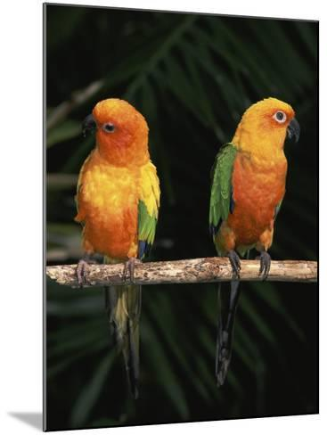 Sun Conures-Lynn M^ Stone-Mounted Photographic Print