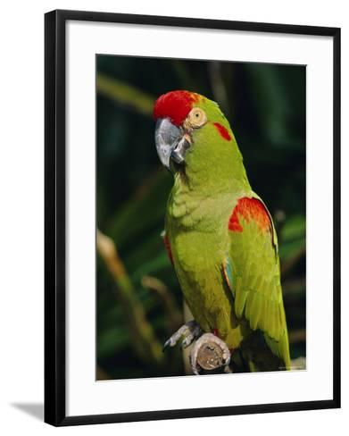 Red Fronted Macaw Portrait-Lynn M^ Stone-Framed Art Print
