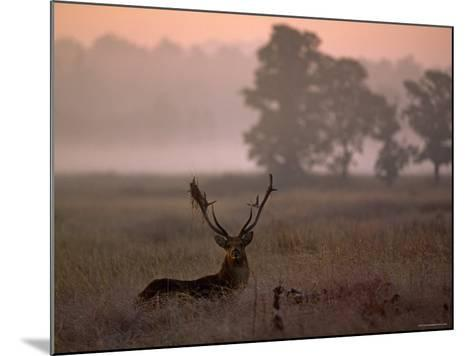 Barasingha / Swamp Deer, Male in Rut with Grass on Antler, Kanha National Park, India-Pete Oxford-Mounted Photographic Print
