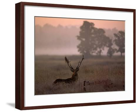 Barasingha / Swamp Deer, Male in Rut with Grass on Antler, Kanha National Park, India-Pete Oxford-Framed Art Print
