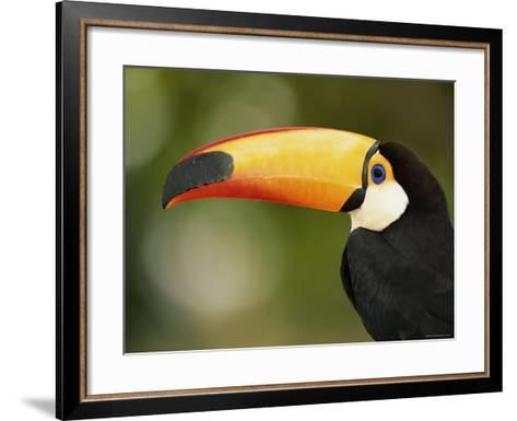 Toco Toucan, Close-Up of Beak, Brazil, South America-Pete Oxford-Framed Art Print