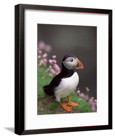 Puffin Portrait, Great Saltee Is, Ireland-Pete Oxford-Framed Art Print