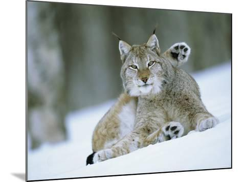 European Lynx Male Grooming in Snow, Norway-Pete Cairns-Mounted Photographic Print