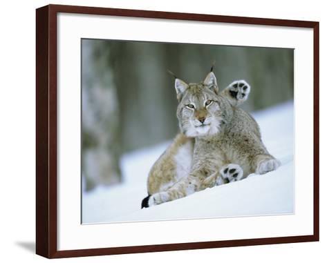 European Lynx Male Grooming in Snow, Norway-Pete Cairns-Framed Art Print