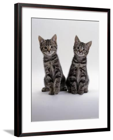 Domestic Cat, Two 8-Week Tabby Kittens, Male and Female-Jane Burton-Framed Art Print