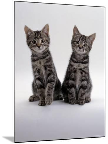 Domestic Cat, Two 8-Week Tabby Kittens, Male and Female-Jane Burton-Mounted Photographic Print