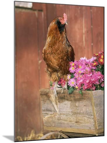 Domestic Chicken, Americana Breed, USA-Lynn M^ Stone-Mounted Photographic Print