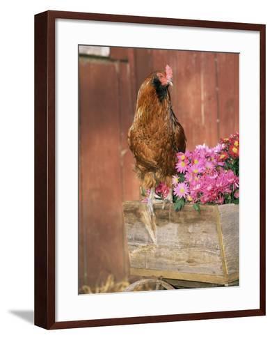 Domestic Chicken, Americana Breed, USA-Lynn M^ Stone-Framed Art Print