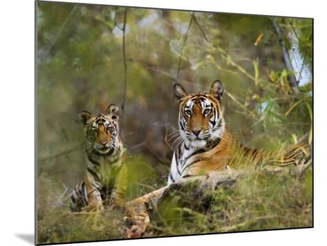 Female Tiger, with Four-Month-Old Cub, Bandhavgarh National Park, India-Tony Heald-Mounted Photographic Print