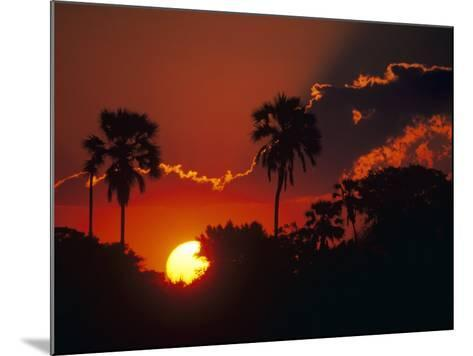 Palm Trees Silhouetted at Sunset, Okavango Delta, Botswana-Pete Oxford-Mounted Photographic Print