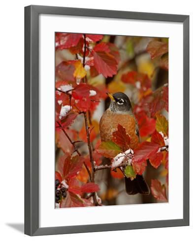 American Robin, Male in Black Hawthorn, Grand Teton National Park, Wyoming, USA-Rolf Nussbaumer-Framed Art Print