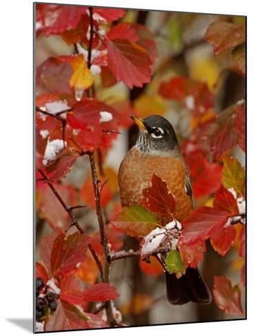 American Robin, Male in Black Hawthorn, Grand Teton National Park, Wyoming, USA-Rolf Nussbaumer-Mounted Photographic Print