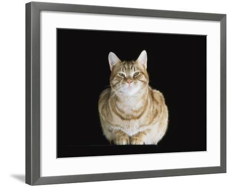 Male Ginger Domestic Cat Looking Smug, UK-Jane Burton-Framed Art Print
