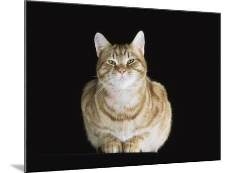Male Ginger Domestic Cat Looking Smug, UK-Jane Burton-Mounted Photographic Print