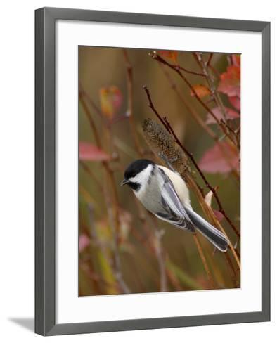 Black Capped Chickadee, Eating Flower Seeds, Grand Teton National Park, Wyoming, USA-Rolf Nussbaumer-Framed Art Print