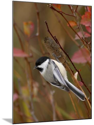 Black Capped Chickadee, Eating Flower Seeds, Grand Teton National Park, Wyoming, USA-Rolf Nussbaumer-Mounted Photographic Print