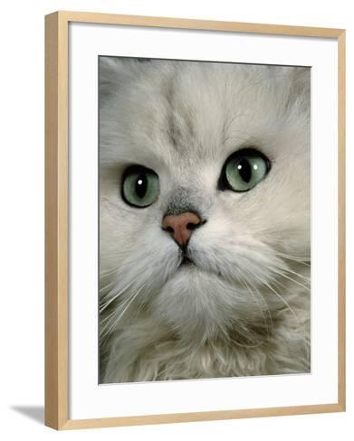 Domestic Cat, Chinchilla Persian Close up of Face-Jane Burton-Framed Art Print