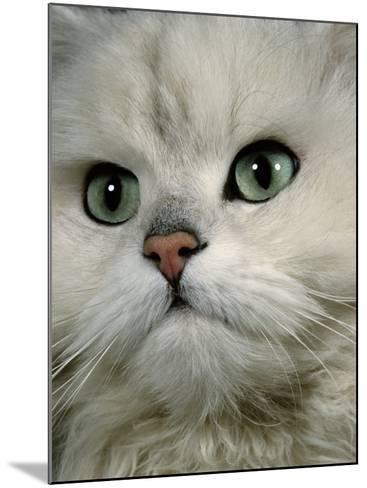 Domestic Cat, Chinchilla Persian Close up of Face-Jane Burton-Mounted Photographic Print