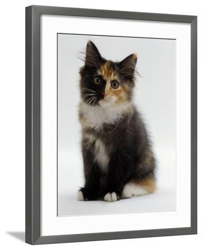 Domestic Cat, 9-Week Non-Pedigree Longhair Tortoiseshell-And-White Kitten-Jane Burton-Framed Art Print