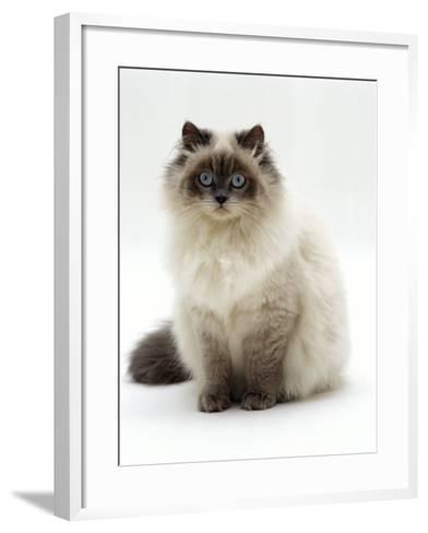 Domestic Cat, Blue Colour-Point Birman-Cross-Jane Burton-Framed Art Print