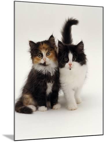 Domestic Cat, Tortoiseshell and Black-And-White Kittens-Jane Burton-Mounted Photographic Print