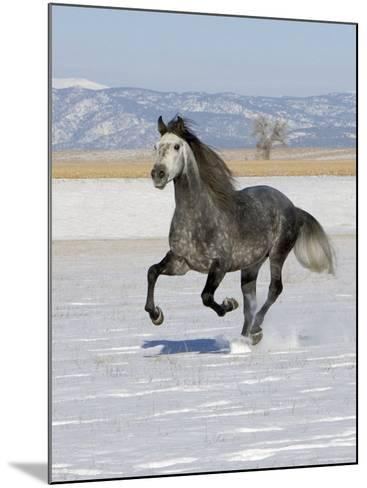 Gray Andalusian Stallion, Cantering in Snow, Longmont, Colorado, USA-Carol Walker-Mounted Photographic Print