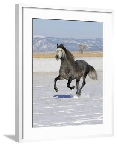 Gray Andalusian Stallion, Cantering in Snow, Longmont, Colorado, USA-Carol Walker-Framed Art Print