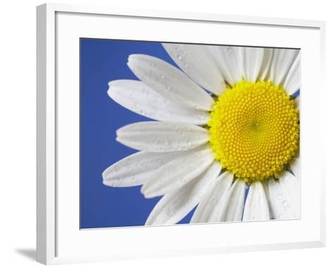 Marguerite / Ox Eye Daisy (Leucanthemum Vulgare) UK-Pete Cairns-Framed Art Print