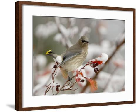 Cedar Waxwing, Young on Hawthorn with Snow, Grand Teton National Park, Wyoming, USA-Rolf Nussbaumer-Framed Art Print