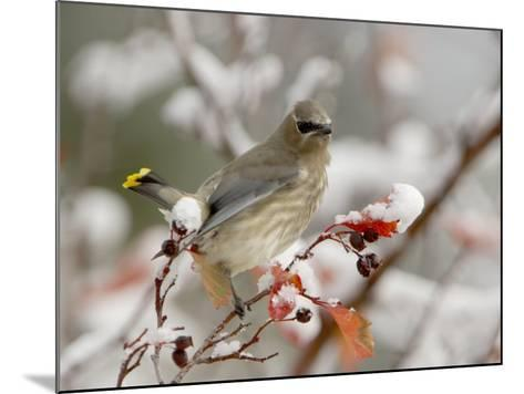 Cedar Waxwing, Young on Hawthorn with Snow, Grand Teton National Park, Wyoming, USA-Rolf Nussbaumer-Mounted Photographic Print