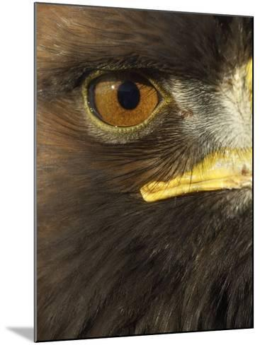 Golden Eagle (Aquila Chrysaetos) Close up of Eye, Cairngorms National Park, Scotland, UK-Pete Cairns-Mounted Photographic Print