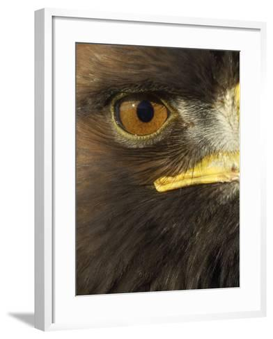 Golden Eagle (Aquila Chrysaetos) Close up of Eye, Cairngorms National Park, Scotland, UK-Pete Cairns-Framed Art Print