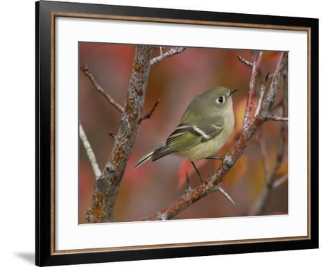 Ruby Crowned Kinglet, Adult in Black Hawthorn, Grand Teton National Park, Wyoming, USA-Rolf Nussbaumer-Framed Art Print