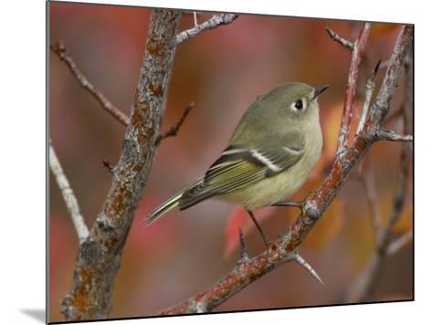 Ruby Crowned Kinglet, Adult in Black Hawthorn, Grand Teton National Park, Wyoming, USA-Rolf Nussbaumer-Mounted Photographic Print