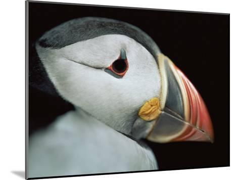 Puffin Portrait, Runde, Norway-Bence Mate-Mounted Photographic Print