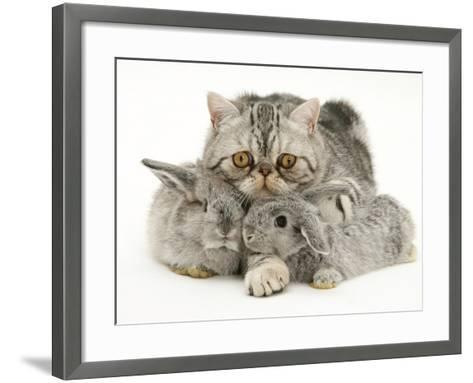 Silver Exotic Cat Cuddling up with Two Baby Silver Rabbits-Jane Burton-Framed Art Print
