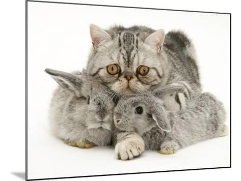 Silver Exotic Cat Cuddling up with Two Baby Silver Rabbits-Jane Burton-Mounted Photographic Print
