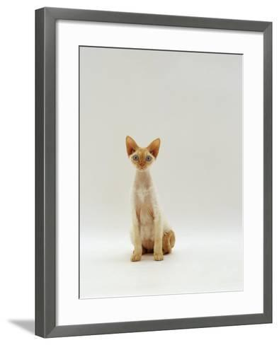 Domestic Cat, Rex Portrait-Jane Burton-Framed Art Print
