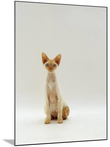 Domestic Cat, Rex Portrait-Jane Burton-Mounted Photographic Print