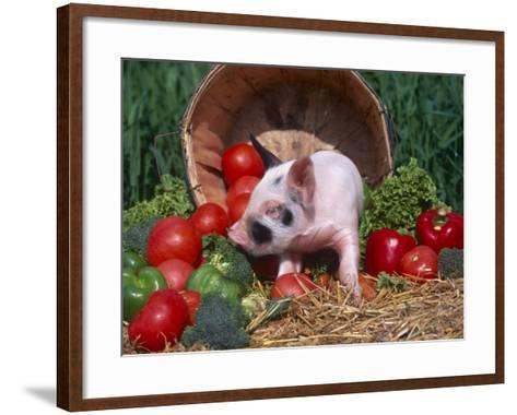 Domestic Piglet, Amongst Vegetables, USA-Lynn M^ Stone-Framed Art Print
