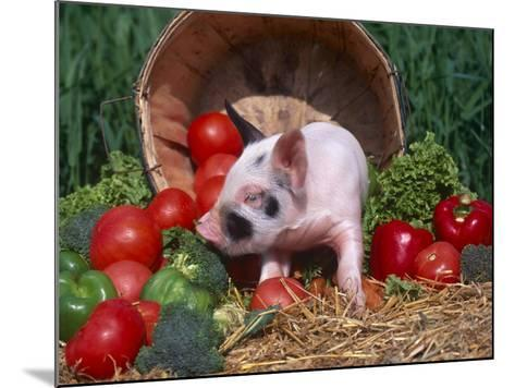 Domestic Piglet, Amongst Vegetables, USA-Lynn M^ Stone-Mounted Photographic Print