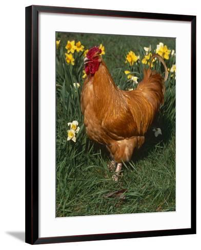 Domestic Chicken, Amongst Daffodils, USA-Lynn M^ Stone-Framed Art Print